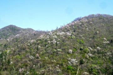Sakura on the western slopes of Mt. Kakuda