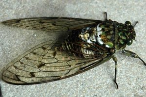 Cicada for your lunchtime serenade