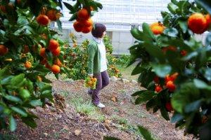 เราสามารถเดินเก็บส้มได้อย่างอิสระ มีส้มให้เลือกเก็บมากมาย