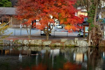 <p>The same maple tree from an angle conducive to reflections</p>