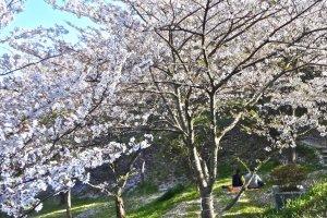 丘の斜面には満開の桜