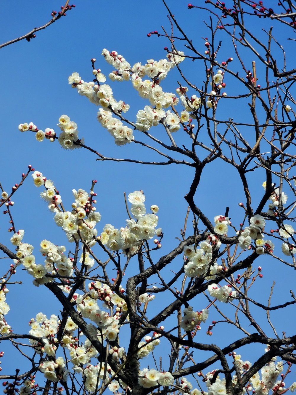White blossoms make an excellent contrast against a blue sky