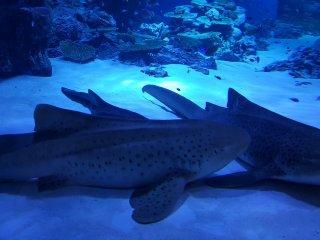 Cá mập!