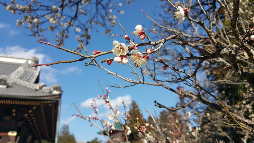 Naritasan memiliki banyak pohon plum, yang mekar dari akhir Februari sampai awal Maret