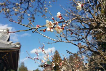 Naritasan has many plum trees, which bloom from late Feb. to early March