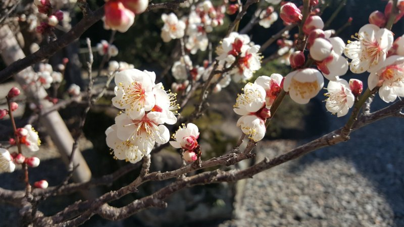 The first plum blossoms of the season!
