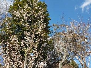 Segera, pohon akan penuh bunga!