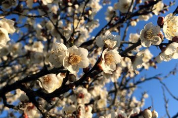 Plum blossoms in Chiba in the morning.