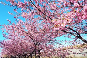 Kawazu-Zakura trees