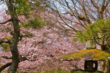 Sakura provides a back drop for this stone lantern