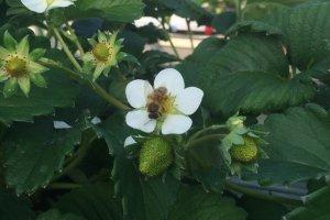 Lebah di bunga stroberi