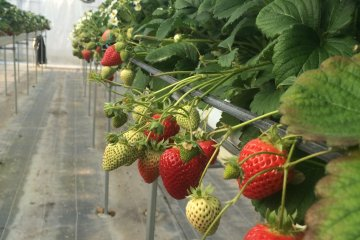 All-You-Can-Eat Strawberry Picking