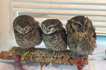 Owls at Ikefukuro Cafe