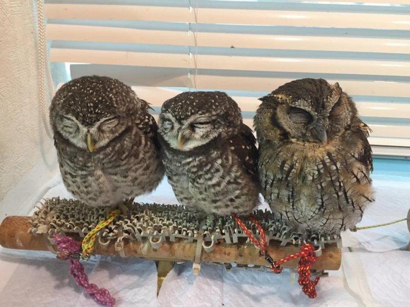 Tiny sleepy owls at Ikefukuro Cafe