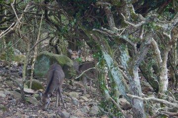 A menudo también hay ciervos dando la vuelta