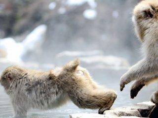 พวกลิงปฏิสัมพันธ์ซึ่งกันและกันในหลายวิธี อาทิเช่น แต่งขน กอดกัน หรือผลักกันลงในน้ำออนเซ็น