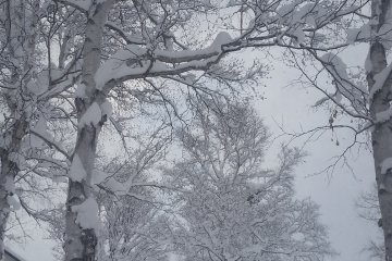 The snow catching in the trees of Hirafu Village