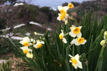Fields of winter-blooming daffodils stretch as far as the eye can see on the coast of Echizen. These flowers, which brave the cold winter wind to bloom, are said to represent the resilience of the people of Fukui and are a longstanding symbol of the prefecture