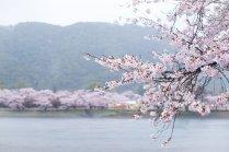 Hoa anh đào Kintaikyo