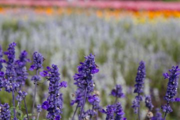 Sage in full bloom (September)