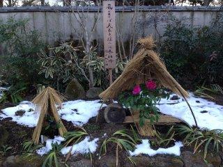 The garden displays peonies from different species...