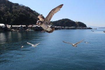 Seagulls follow the Ine-wan Meguri ferry cruise