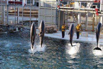Hyogo Highlight: Dolphin show at Kinosaki Marine World