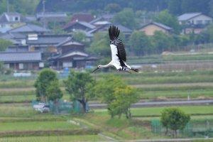 The oriental white stork in mid flight