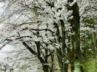 방문객들이 벚꽃잎들이 떨어지는 언덕을 걷고 있습니다.