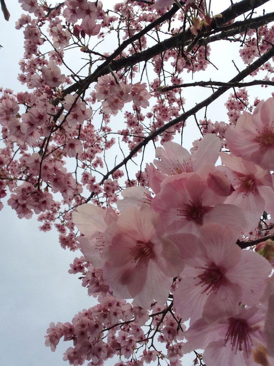 Sakura blossoms can be several shades of pink as well as white.