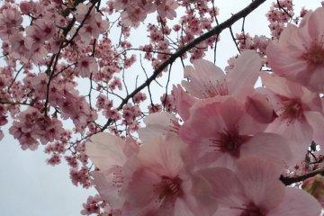 치바에 일찍 핀 벚꽃