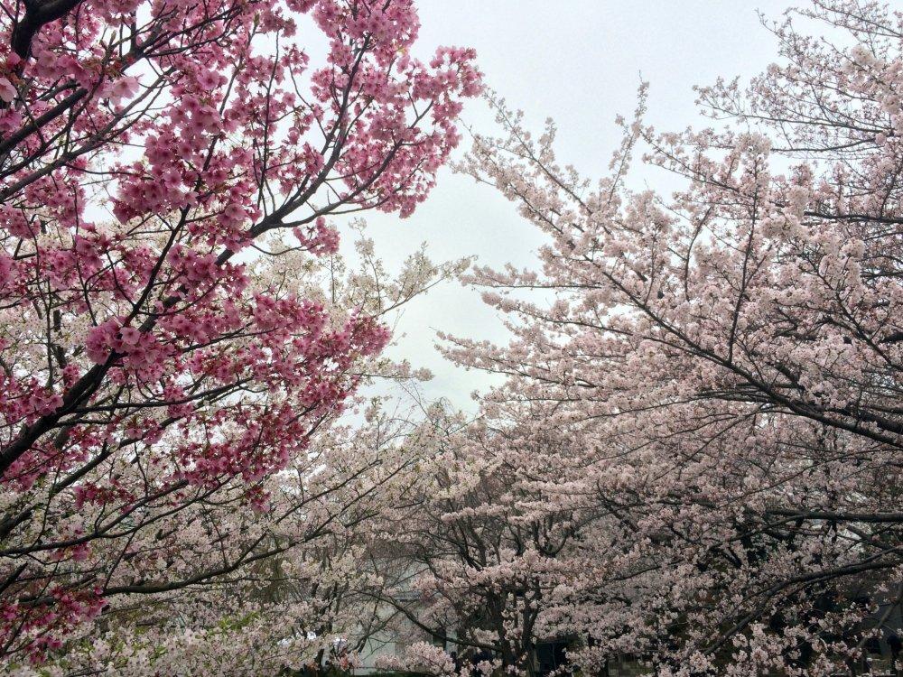Muitos tipos de sakura