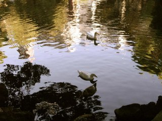 The pond was beautiful and filled with ducks, turtles and coy; reason enough to visit the shrine grounds