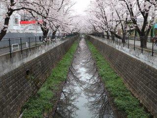 Cermin sakura di sepanjang Sungai Asao