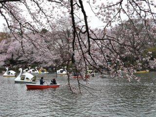 Sakura di atas Danau Ingoshira di Kichijoji