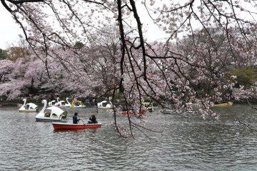 Sakura over Ingoshira Lake in Kichijoji.