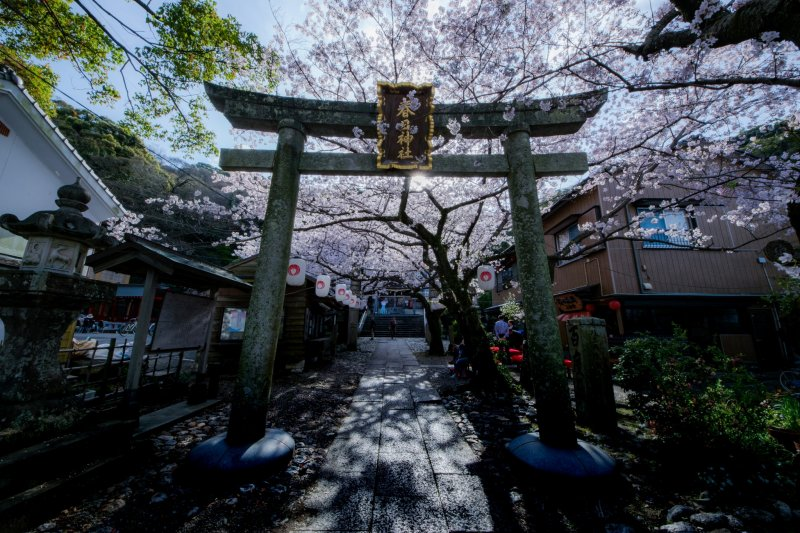 Gorgeous cherry blossoms lining the path to the shrine