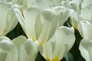 Yokohama Park - White Tulip