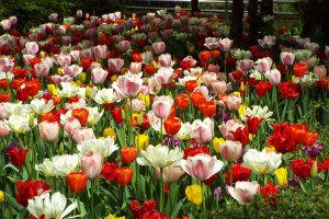 Yokohama Park - Mixed Tulips
