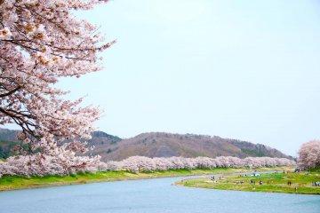 生长于白石川堤两侧的樱花树