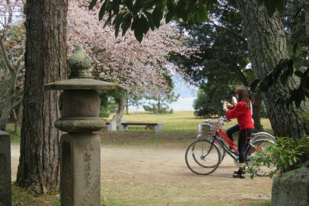 Amanohashidate Cherry Blossoms