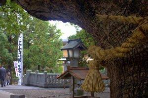 Heavy hempen rope around the sacred camphor tree