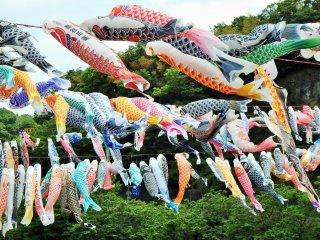 Around 1,200 carp-shaped wind socks brighten the sky.