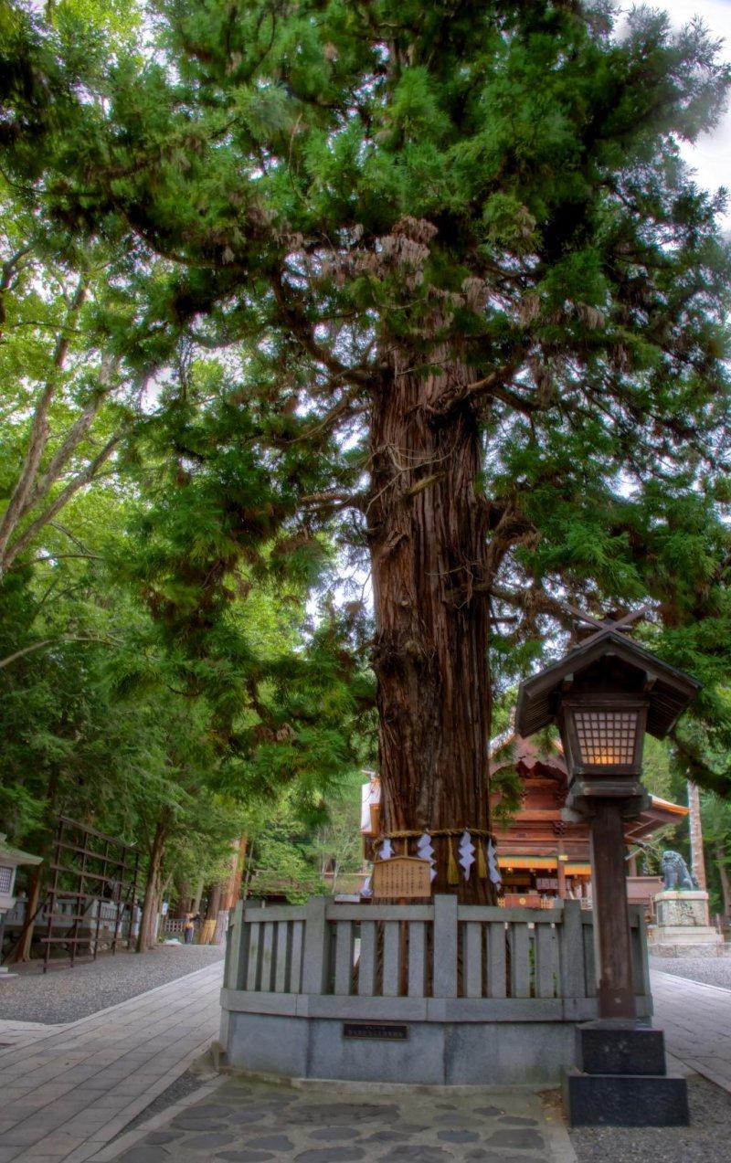 Akimiya's ancient (several hundered years old) snoring tree