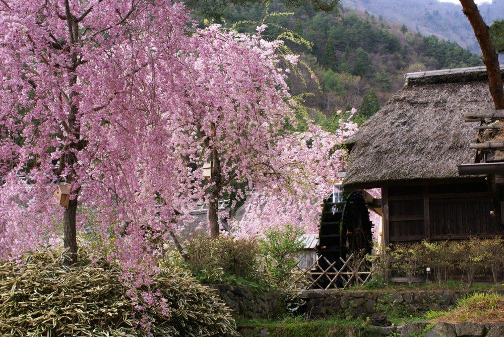 Uma cerejeira chorona junto à azenha da aldeia