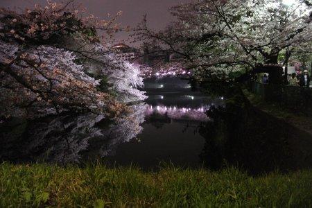 Ánh sáng hoa anh đào ở Tokyo