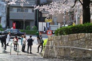 Google street view man enjoying the Sakura