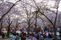 Hanami di Taman Nishi