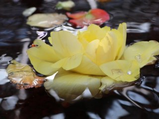 Japanese rose floating in water.