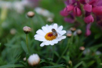 甜蜜蜜花蜜招惹蜜蜂